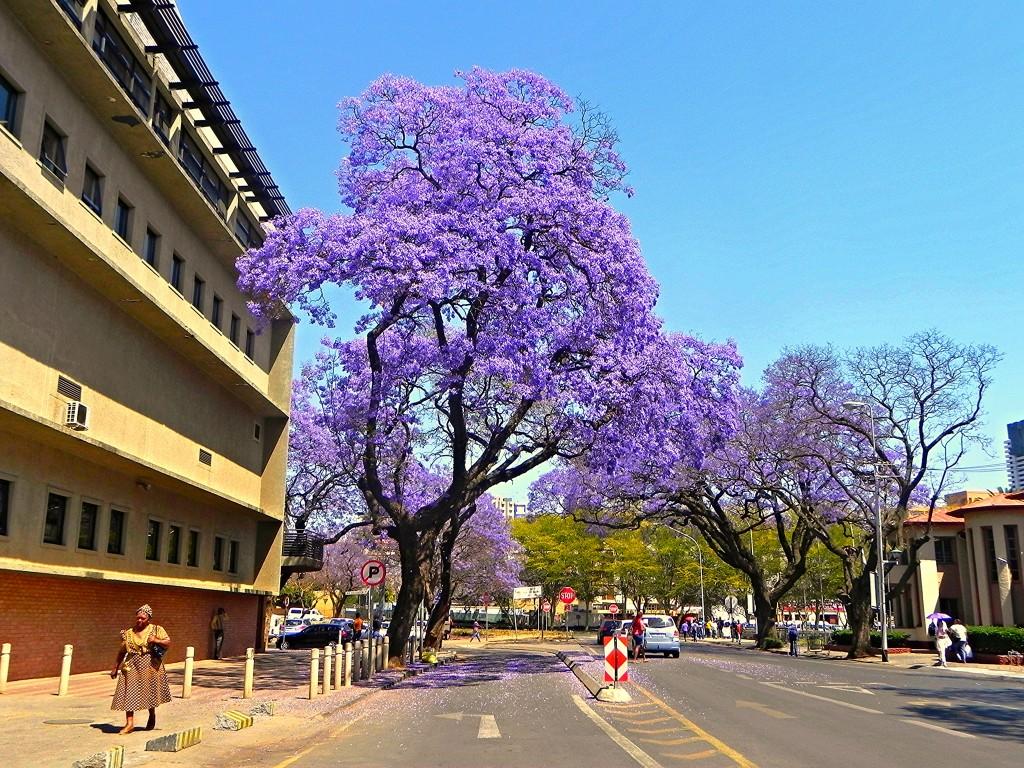 עצים בפרטוריה, דרום אפריקה (צילום: flickr)
