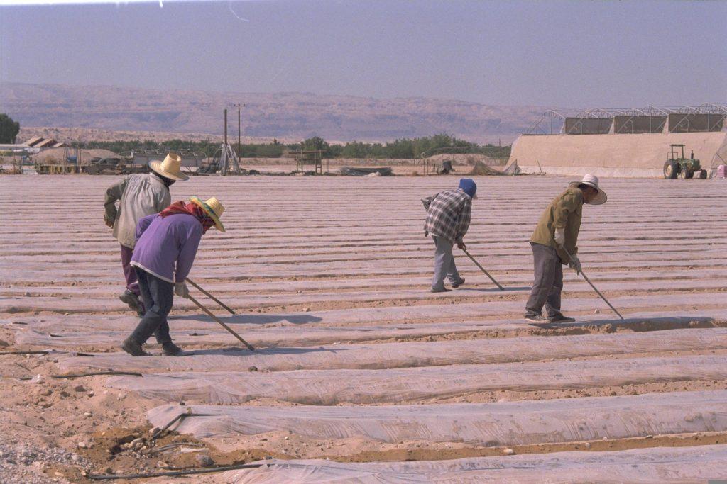 """הגלובליזציה הובילה לכניסה של עבודה זולה בלתי מאורגנת ובלתי מוגנת מחו""""ל. עובדים תאילנדים בקיבוץ בערבה 1998 (צילום: EINAT ANKER, אוסף התצלומים הלאומי)"""
