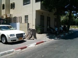 עץ כרות ברחובות תל אביב (צילום: עידן עמית)