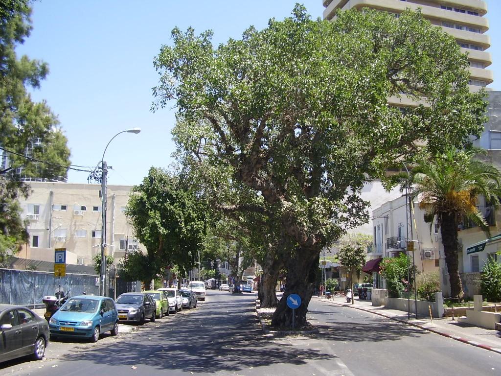 השקמים ברחוב המלך ג'ורג' בתל אביב (צילום:Dr. Avishai Teicher, Pikiwiki Israel)